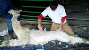 alpaca shear