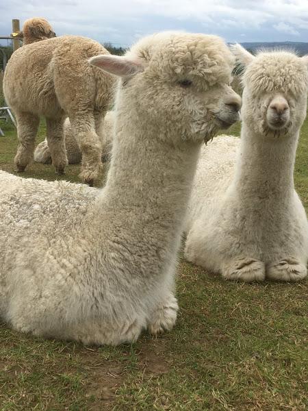 alpaca and friend